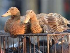 Kerala On Red Alert After 15,000 Ducks Die of Avian Influenza