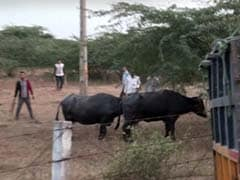 2 Dead As Buffalo Rescue Attempt Goes Awry In Kanpur