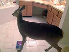 Deer Breaks Through House, Ransacks Bathroom