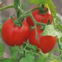 Organic Tomatoes Richer in Vitamin C