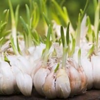 Eat Sprouting Garlic For Heart-Healthy Antioxidants