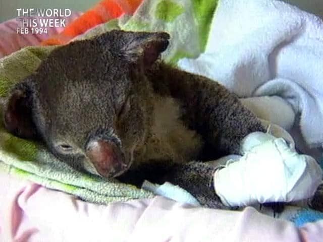 Video : The World This Week: Saving the koala (Aired: February 1994)