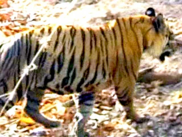 Video : Tadoba Tiger Reserve: The Story of Conflict, Communities & Conservation