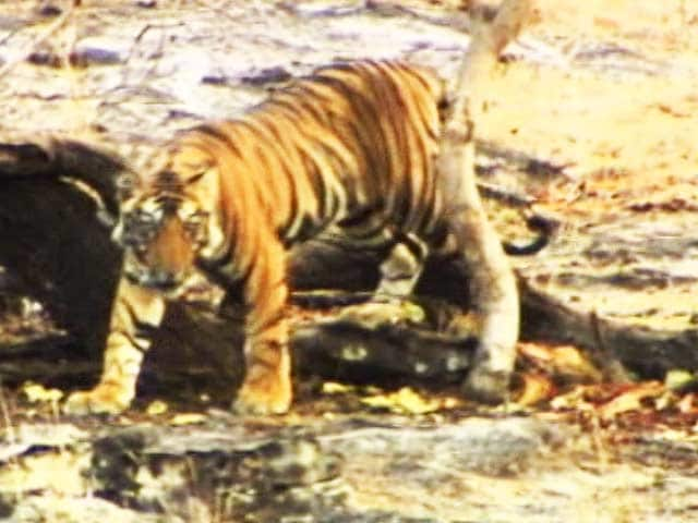 Video : Save Our Tigers: Helping Local Communities Develop Alternative Livelihoods