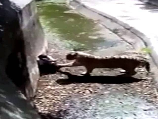 Video : Man Killed By White Tiger Blamed; He Was Mentally ill, Says Delhi Zoo