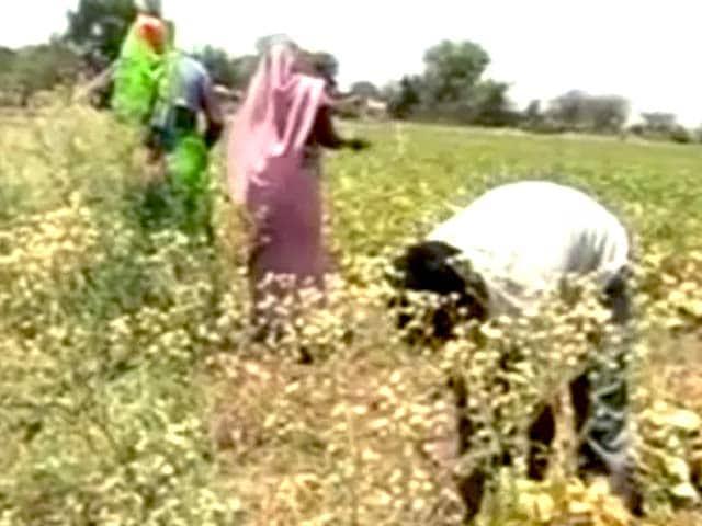 Video : मध्य प्रदेश : भीषण गर्मी के चलते दलहन की एक-तिहाई फसल बरबाद