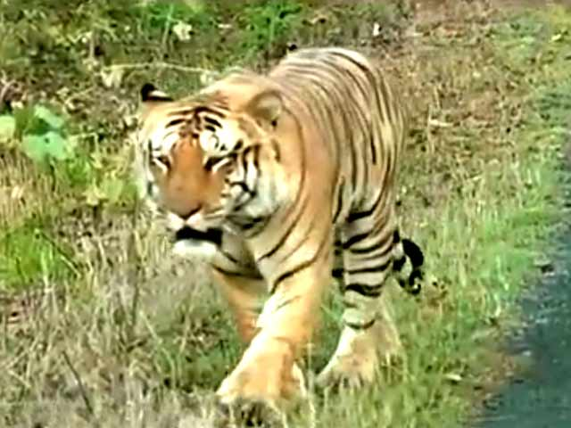 Video : The Fight to Save Our Tiger is Not Over, the Fight Has Just Begun