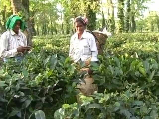 Video : Assam's Tea Workers Pick The Right Time For a Big Wish
