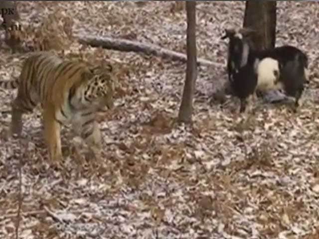 Video : Tiger and Goat Forge Unlikely Friendship in Russian Zoo