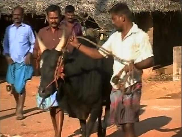 Video : In Centre's Talks To Legalise 'Jallikattu', Many Await Return Of Bull Taming