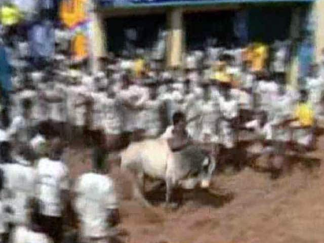 Video : Centre Lifts Ban On Jallikattu In Tamil Nadu, Order Angers Activists