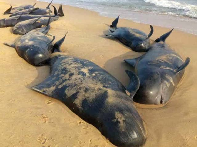 Video : 100 Whales Wash Up At Beach 600 Km From Chennai