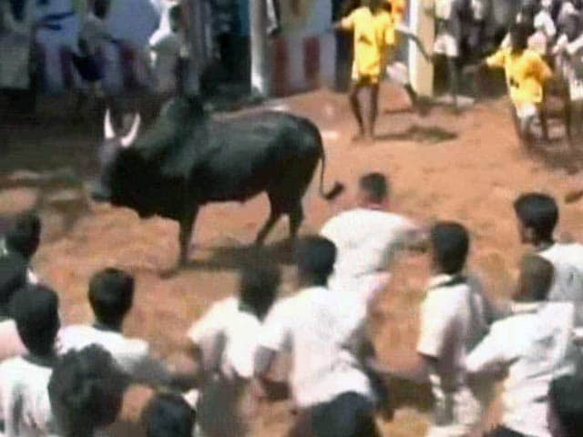 Video : Jallikattu: Tamil Nadu Farmers Still Hopeful Despite Top Court's Stay