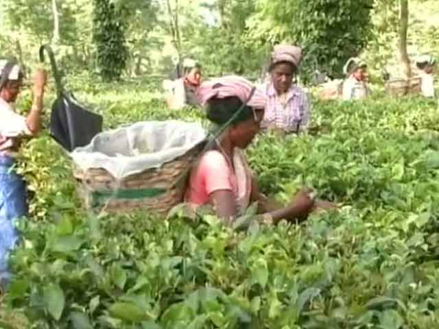 Video : Assam Tea Workers Await Tribal Status As Congress, BJP Fight For Their Vote