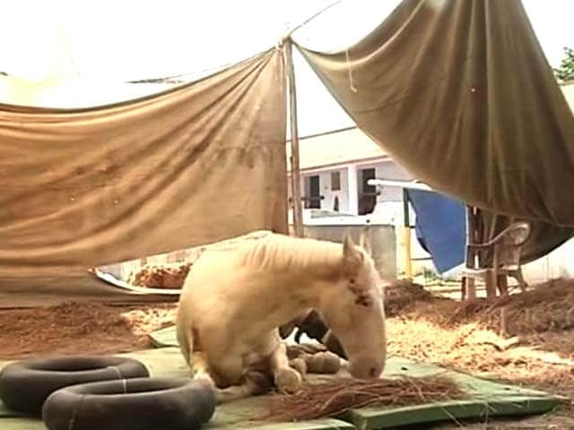 Video : Shaktiman The Horse Shows 'Good Sign of Recovery'