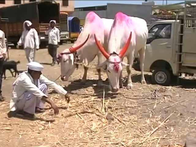 Video : With An Unforgiving Drought, A Cattle Crisis Spreads Through Marathwada