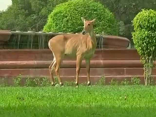 Video : When a Nilgai Was Spotted Near Delhi's Most Powerful Office