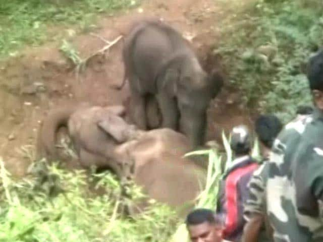 Video : Heart-Breaking Video: Baby Elephant Tries To Wake Up Dead Mom