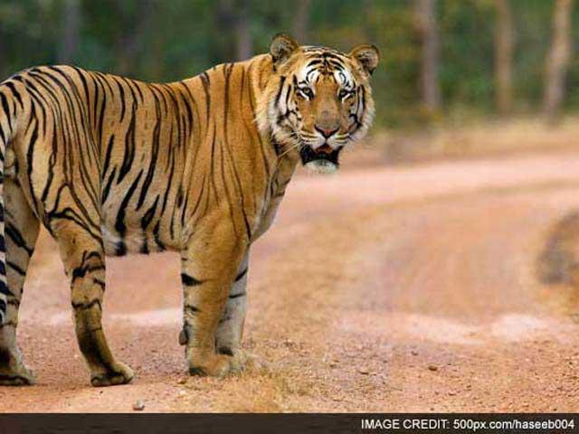Video : Jai, Stunning 250 Kg Tiger, Missing For 99 Days