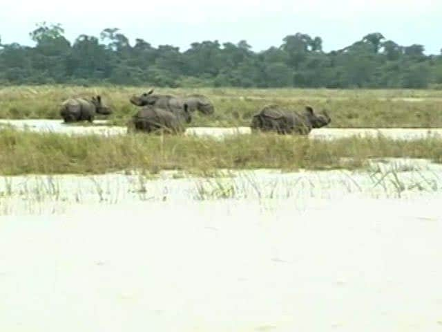 Video : 13 Rare Rhinos Drown At Kaziranga National Park In Assam