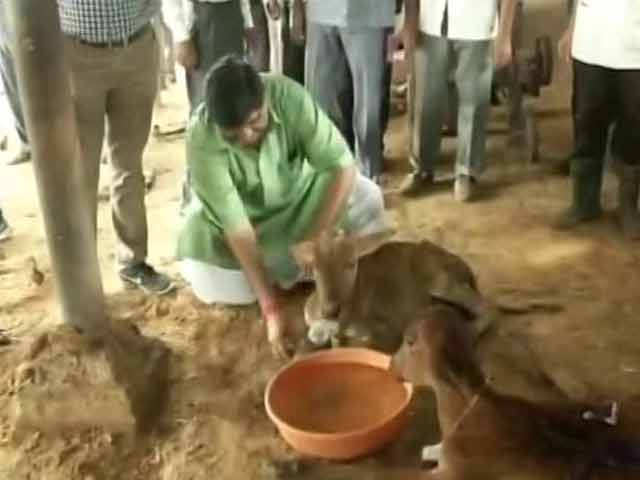 Video : Facing Flak On 'Gau Raksha', Minister Feeds Cows At Rajasthan Shelter