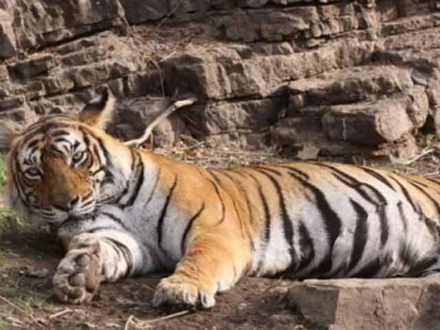 Video : Machhali, The Iconic Tigress From Ranthambore, Dies