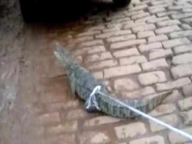 Video : Crocodiles Find Their Way Into A Residential Area In Uttar Pradesh's Mirzapur