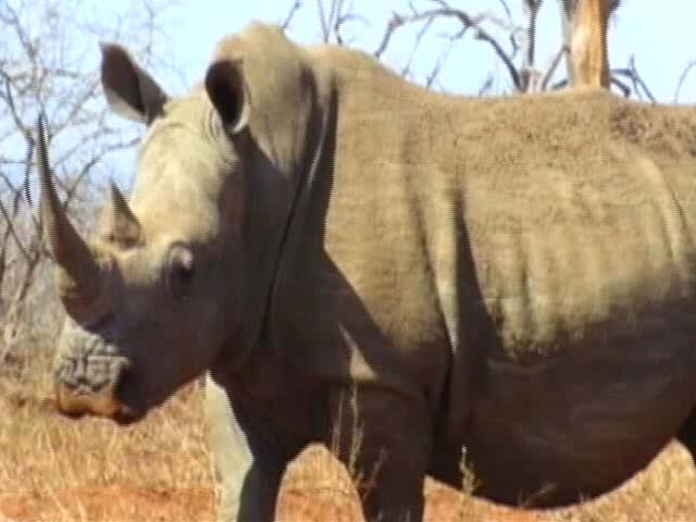 Video : The Horns Of A Dilemma
