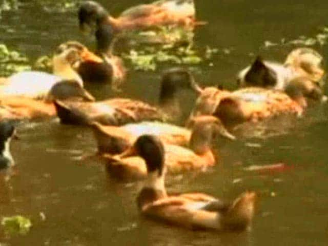 Video : Thousands Of Ducks Culled In Alappuzha