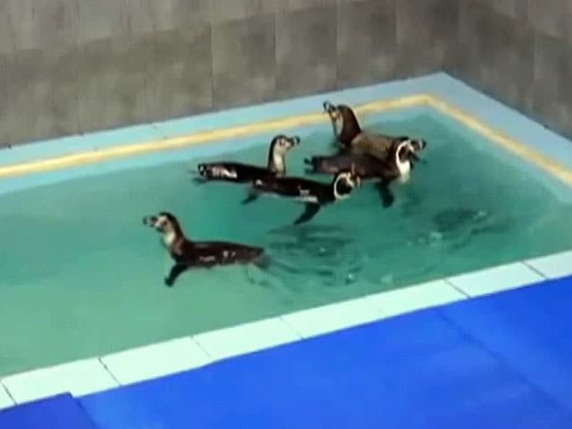 Video : Penguin Dies At Mumbai Zoo, Political Row Erupts
