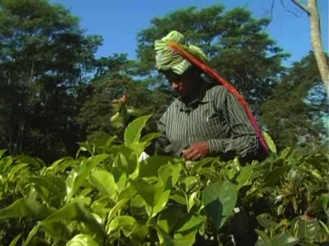 Video : Tea Gardens Face Cash Crunch, Default On Paying Wages