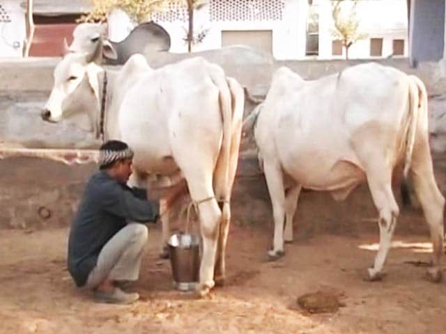 Video : Rajasthan Says It Needs Rs. 500 Crore To Save Cows. Plans Special Tax.