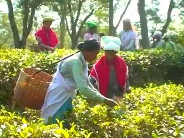 Video : In Assam's Tea Gardens, Currency Ban Stirs Up A Cup Of Trouble