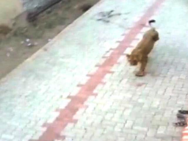 Video : Lioness Strays Into Village; Captured In Amreli District Of Gujarat