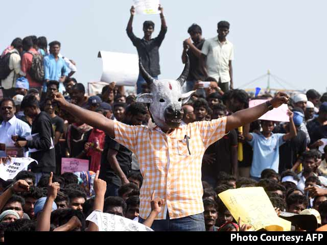 Video : As Jallikattu Protests Swell, Tamil Nadu Looks At Legal Way Out