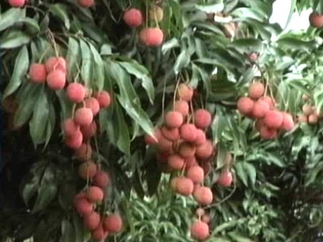 Video : 'Killer' Litchi The Cause Of Mystery Deaths In Muzzarfarpur