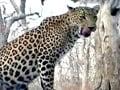 Video: सफारी इंडिया : इंसानों के लिए क्यों खतरनाक हुए तेंदुए
