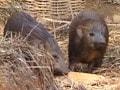 Video: सफारी इंडिया : बचाई जा रही है सुअरों की यह नाजुक प्रजाति