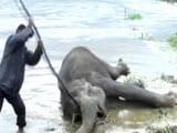 Videos : दो हाथियों की जिंदगी की लड़ाई