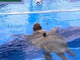 Video : FIFA World Cup: Oracle Turtle Picks Brazil to Win Title