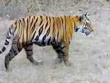 Video: Sighting the Indian Tiger