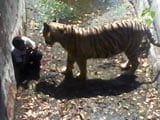 White Tiger Kills Man Who Fell Into Its Enclosure At Delhi Zoo