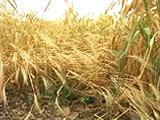 Video : Unseasonal Rains Lash Farmers' Spirits in Maharashtra