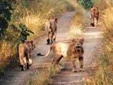 Video: गीर में जारी शेरों की गिनती, बढ़ सकती है तादाद