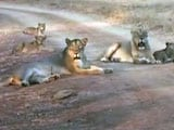 Video: With Rising Numbers, Lions Overflowing Gir? Latest Census Hopes to Find Out