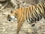 Video: 'Tiger Expert Questions Uproar Over Shifting Ranthambore's T24'
