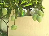Video : Why Former Jharkhand Chief Minister is Numbering All the Mangoes in His Backyard