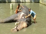 Body Scrubs to Indulgent Diets, 40 Elephants to Get Special Treatment in Kerala