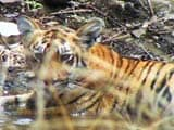 Video: सेव आर टाइगर कैंपेन : बोर रिजर्व की रिपोर्ट