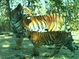 Video: Bor Tiger Reserve